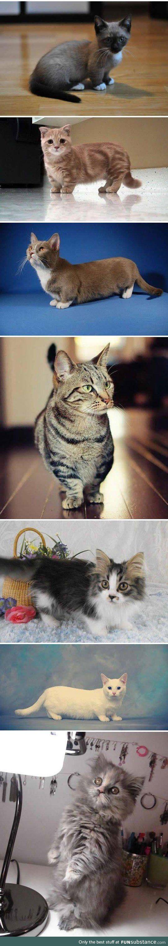 Short legged cats are like corgis