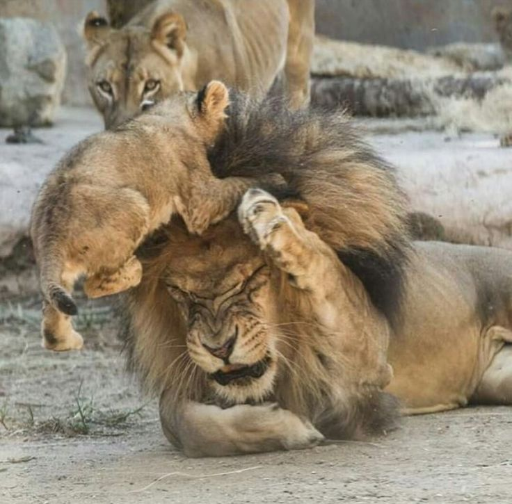 Lion Cub Trying to get Papa to Play. http://represent.com/kittenshirt