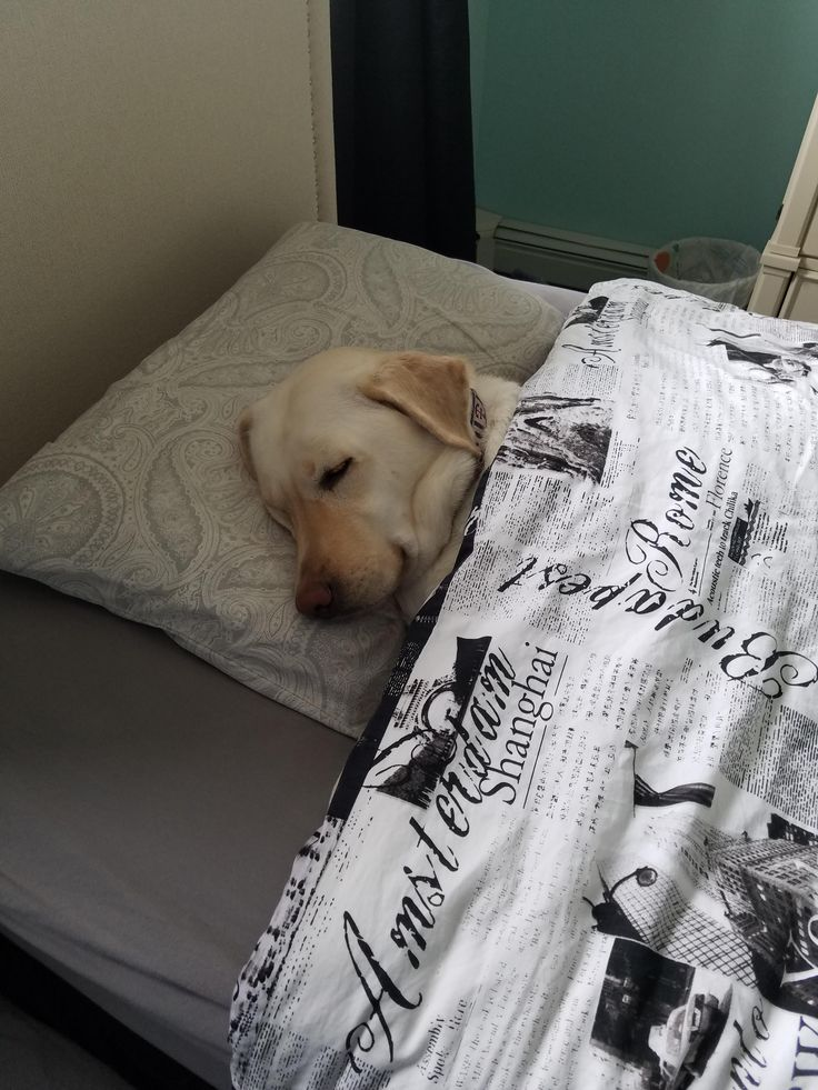 My dog fell asleep on my sisters bed, so I tucked her in