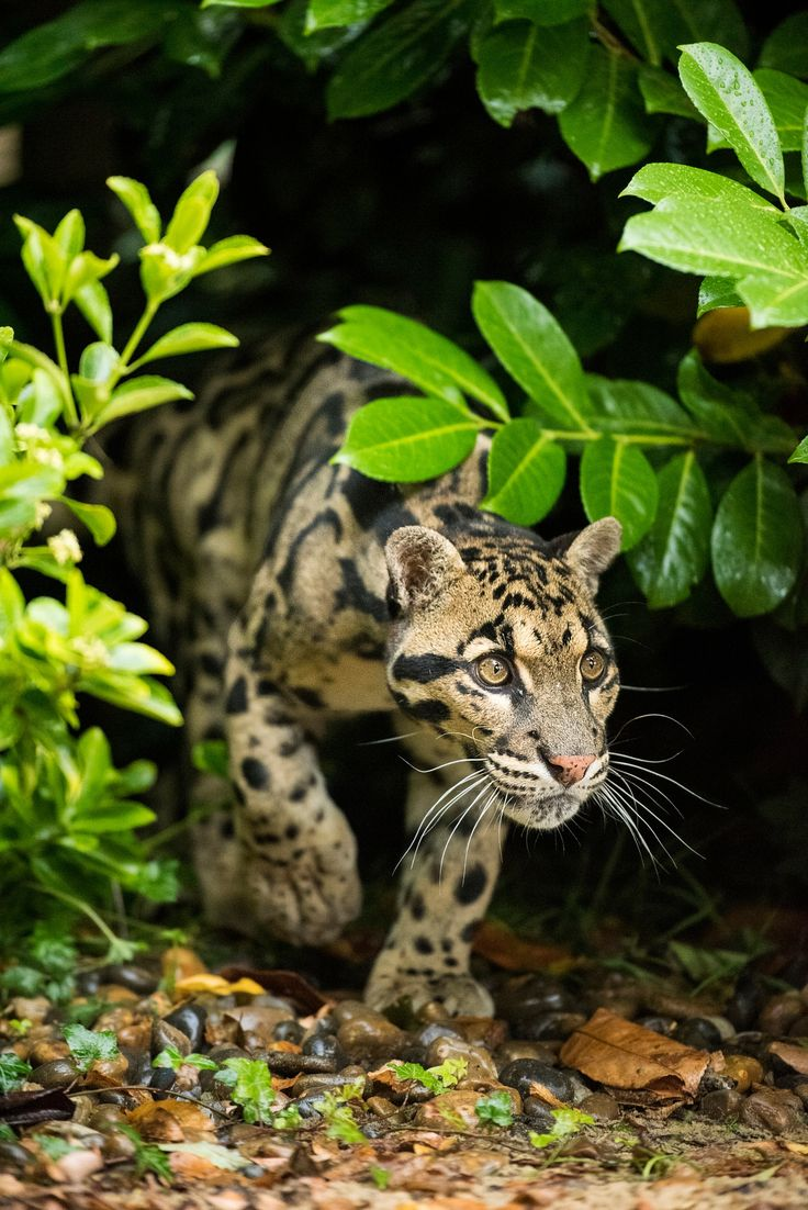 Clouded Leopard - Taken at the WHF in Kent.
