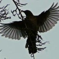 Thirteen Ways Of Looking At A Blackbird by Wallace Stevens (Diane Havens) by Diane Havens on SoundCloud