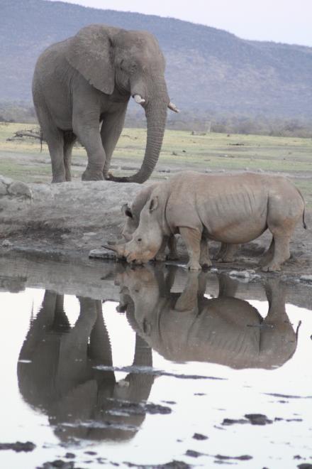Elephant vs rhino at vleipan watering hole