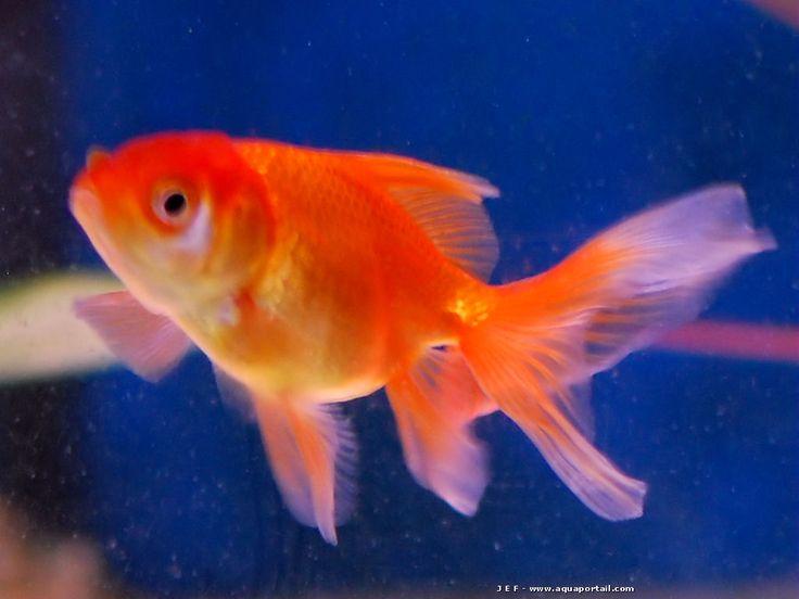 Les 25 meilleures id es de la cat gorie poisson rouge sur for Bocal aquarium original