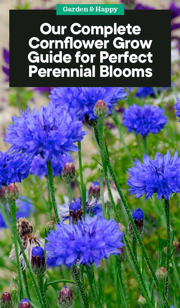 A Complete Guide On Growing Cornflower For Perfect Perennial Blooms Garden And Happy Perennials Garden Planning Cottage Garden Plants