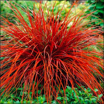 Rubiinisarakki<br>Uncinia rubra