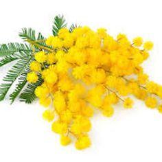 Profumo mimosa bomboniere gessetti profumati,fai da te,battesimo,matrimonio,profumo,made in italy,fatto a mano.