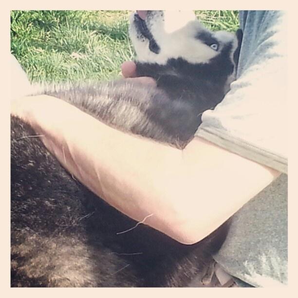 Husky at a dog park