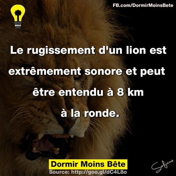 Le rugissement d'un lion est extrêmement sonore et peut être entendu a 8 km à la ronde.
