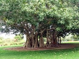 Famous Banyan trees dot the Island of Venice. Very popular photo op sites.