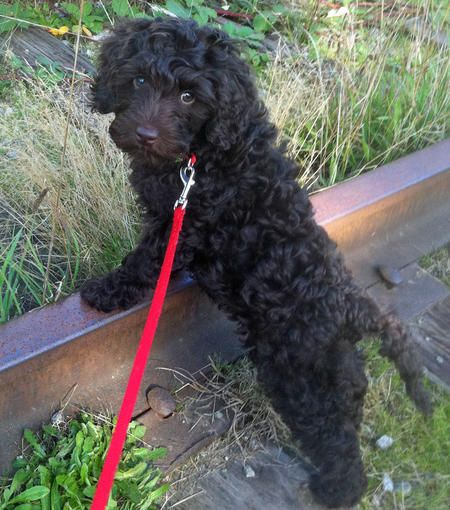 Shabazi the Labradoodle | Squeee | Pinterest | Chocolate ...