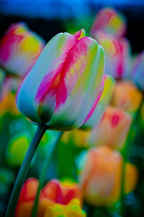 Rainbow Tulip Flowers Garden Love