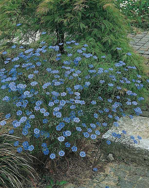 Saphyr Blue Flax Linum Perenne Dwarf 12 15 In Tall Bloom May To September Perennial To Zone 4 Plants Are Covered In Perennials Blue Plants Flax Flowers