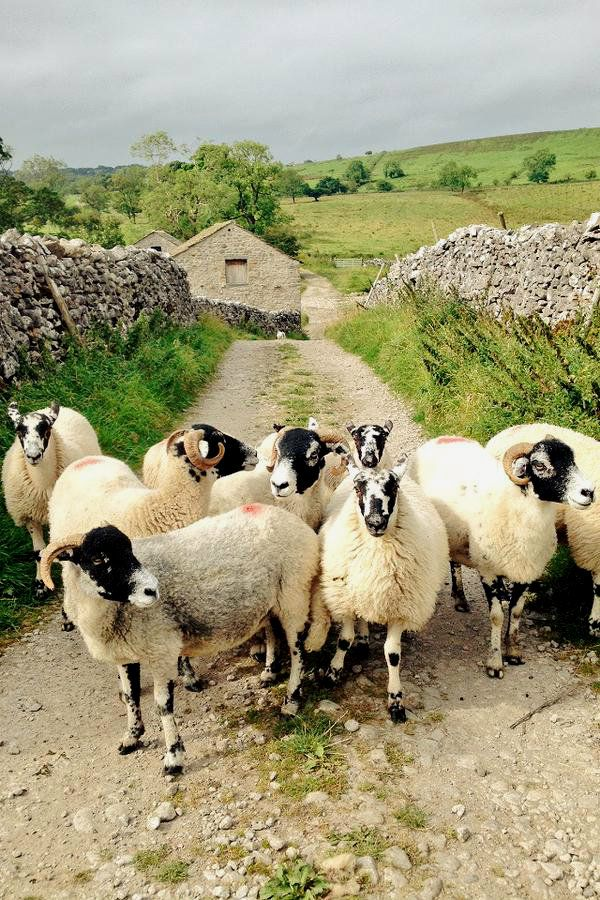 pagewoman: Swaledale Sheep, Hill Top Farm, Malham, Yorkshire Dales, England (by Hill Top Farmgirl)