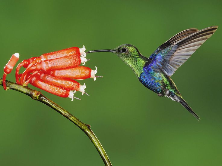 Attract--Hummingbird Nectar Recipe: 1part sugar:4parts water. Heat to dissolve sugar, and slow fermentation. Allow to cool before filling feeder. (Extra will last 1 week in the fridge)