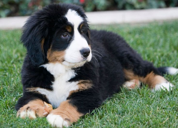 Burmese Mountain Dogs are the cutest and sweetest pets in the world.  I want one someday.