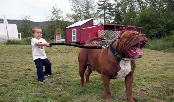 World's biggest pitbull's puppy love for dogs worth over £300,000 ...
