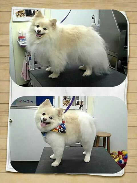 Pomeranian haircut - by professional groomer - Melissa Benham www.pawplay4dogs.com