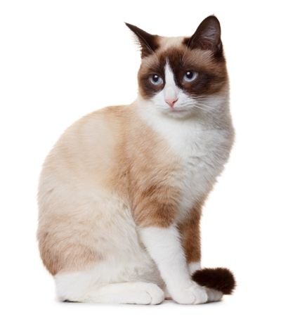 Snowshoe - Affectionate Cat Breeds