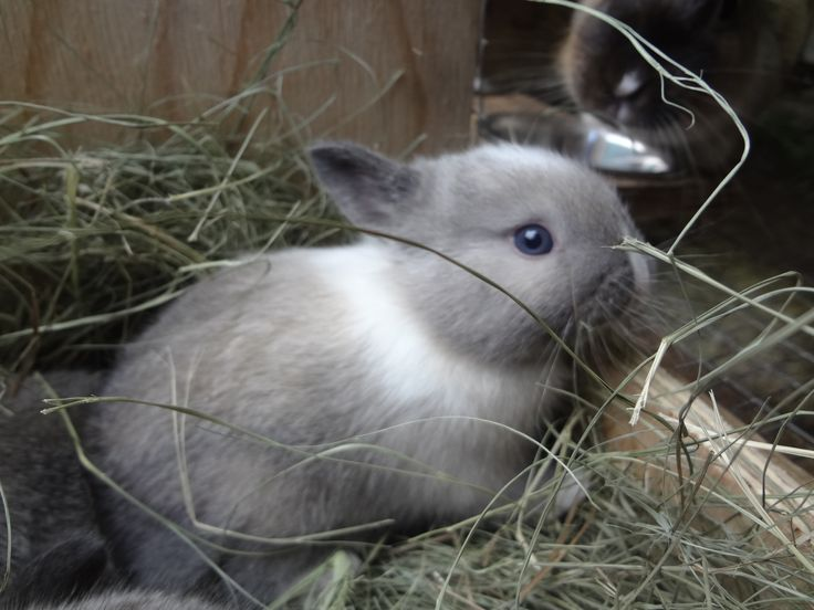 Our house bunny Houdini, when he was 4 weeks old