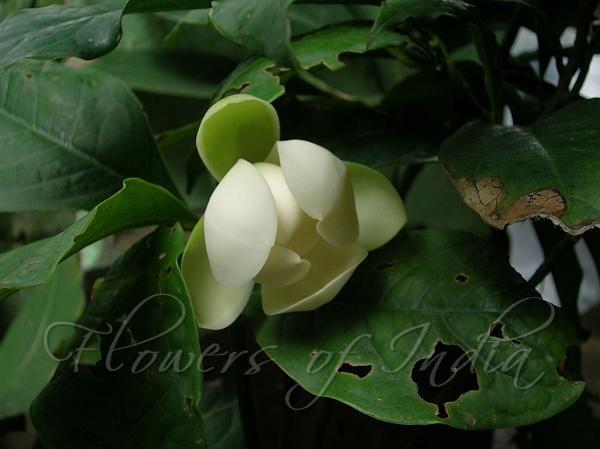 Dwarf Magnolia 'Cempaka Telur'