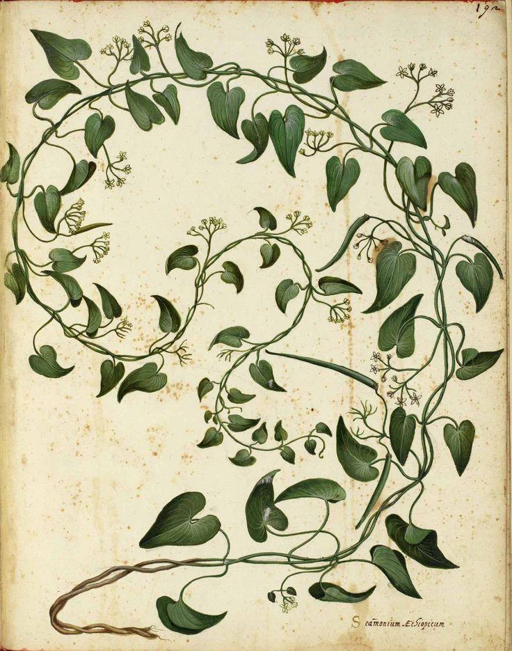 vintage public domain picture of a botanical vine