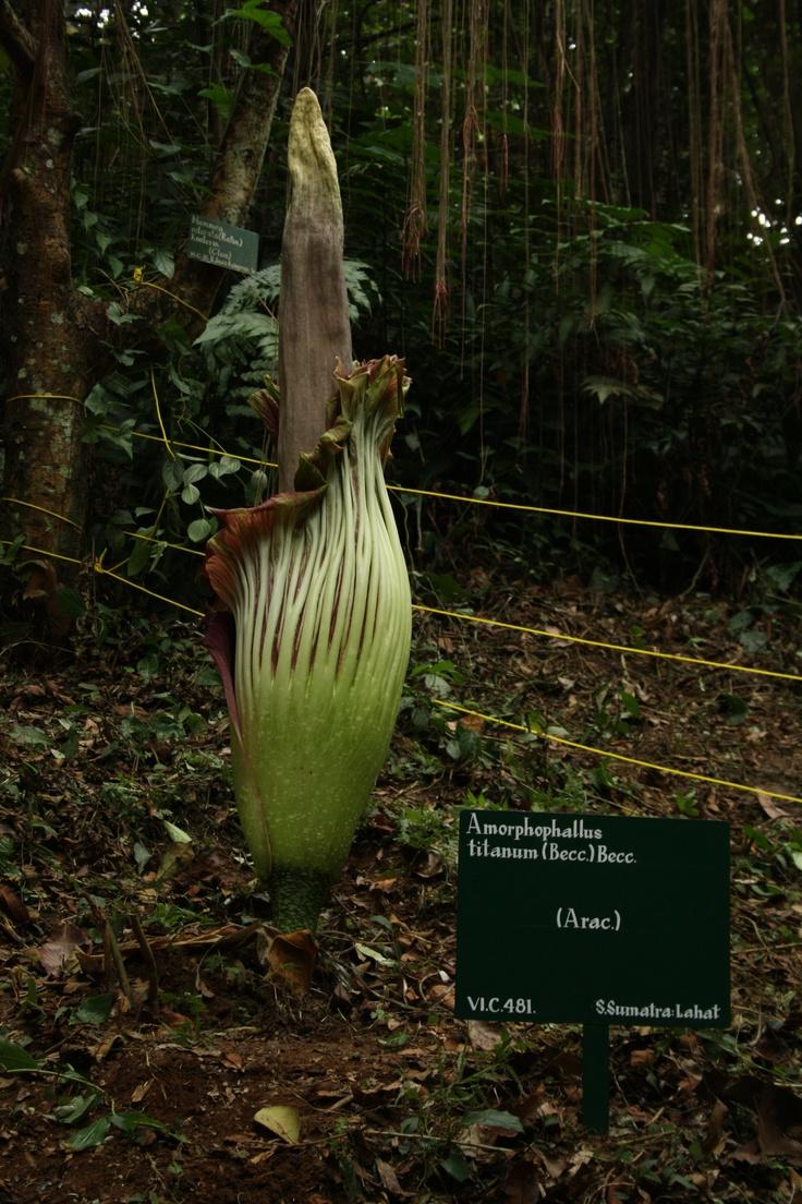 Amorphophallus Titanum, Bogor, Indonesia
