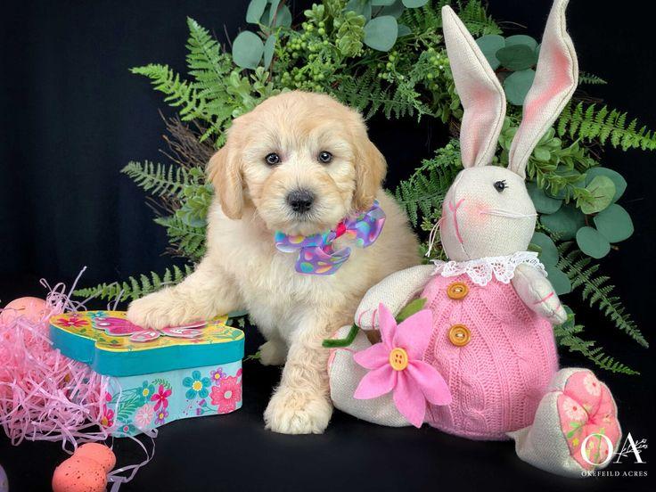 Macey okefeild acres mini teddybear goldendoodle puppies