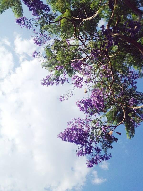 Jacarandas like hanging grapes