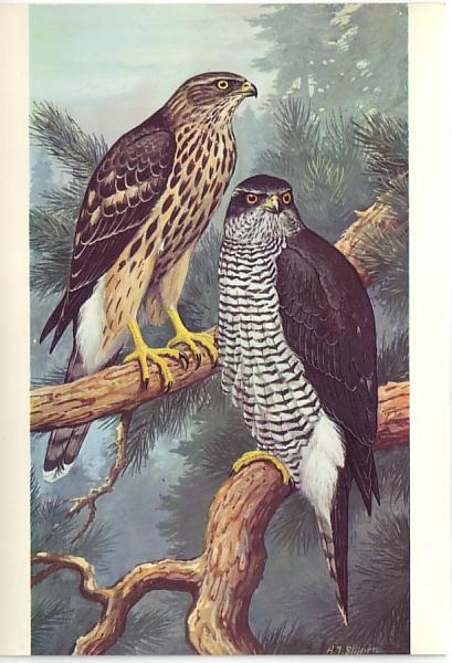 Goshawk (Accipiter gentilis) postcard for  European Conservation Year 1970 - based on a painting by wildlife artist H J Slipjer
