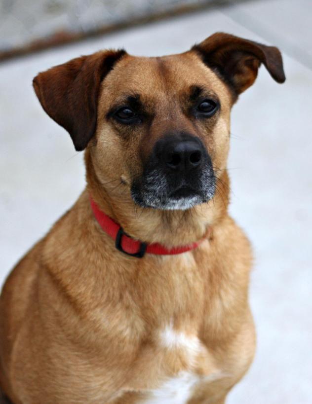 25+ best ideas about Boxer Lab Mixes on Pinterest | Boxer ... Beagle Boxer Mix Full Grown