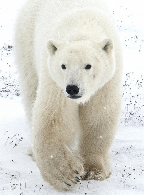 Lord of the Arctic | ucumari photography | Flickr