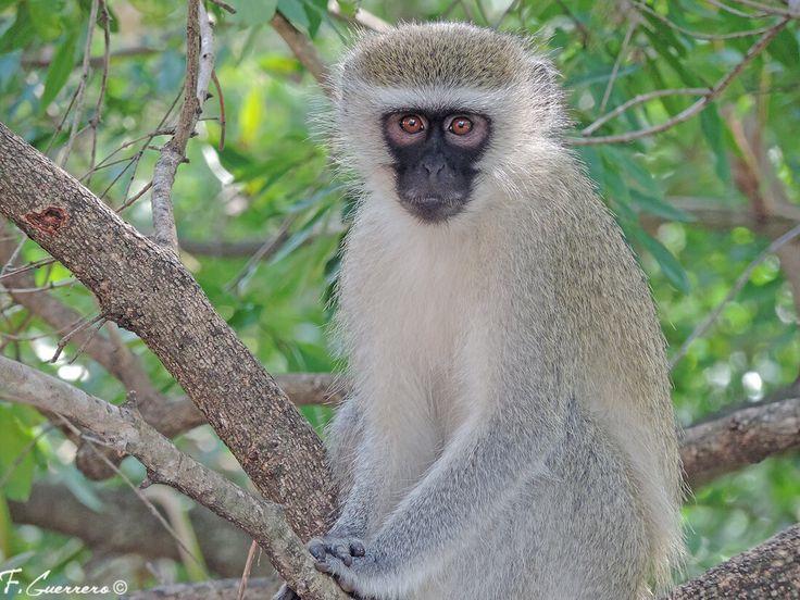 El mono verde (Chlorocebus pygerythrus) también es denominado cercopiteco verde. Adquiere su nombre de la tonalidad gris (en ocasiones verdosa) del pelaje de su dorso. En inglés se conoce como Vervet monkey