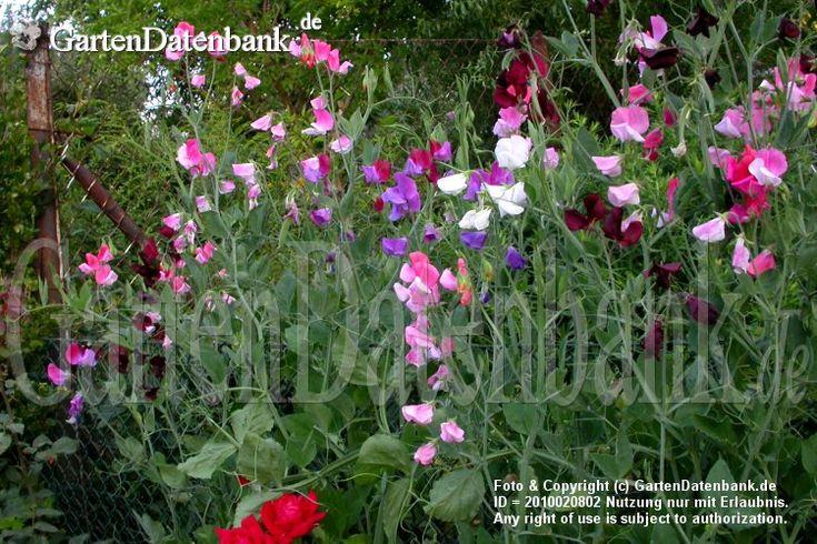 Wicke, Duftwicke, Edelwicke, Duftende Platterbse, Gartenwicke Lathyrus odoratus Bunte Zaunbegrünung an einem alten, verrosteten Maschendrahtzaun....