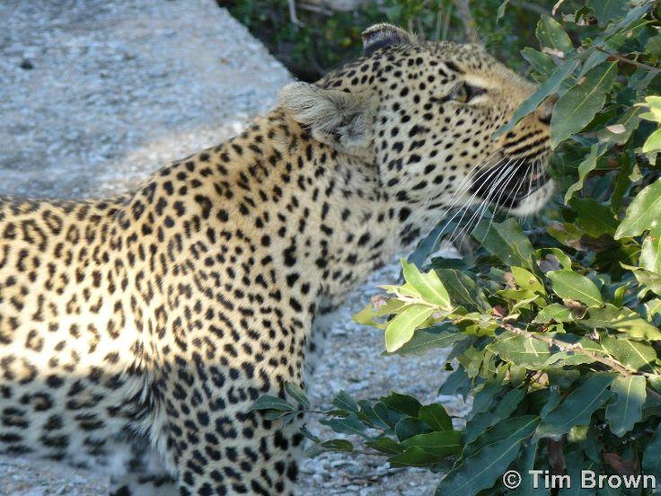 Tim Brown Tours | Durban Tours and Safaris  http://www.timbrowntours.com/  #Leoperd
