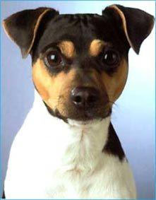 Fox Paulistinha / Brazilian Terrier Puppy Dog