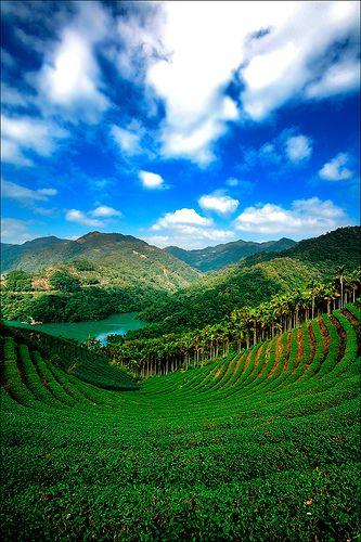 Look at this gorgeous tea farm in Shiding, New Taipei, #Taiwan!