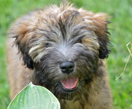 German Shepherd Puppies Dogs For Sale In Wheaton