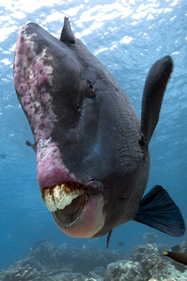 Looks like a Bumphead parrotfish... Photo by Recep Donmez