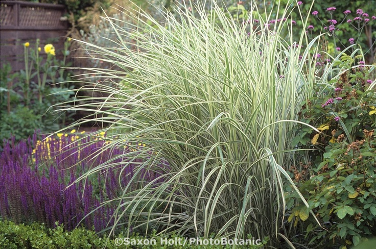 41 best images about client board second st east sonoma on for Variegated ornamental grass