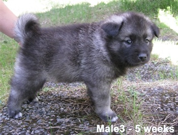 I want a puppy. Preferably an Elkhound.