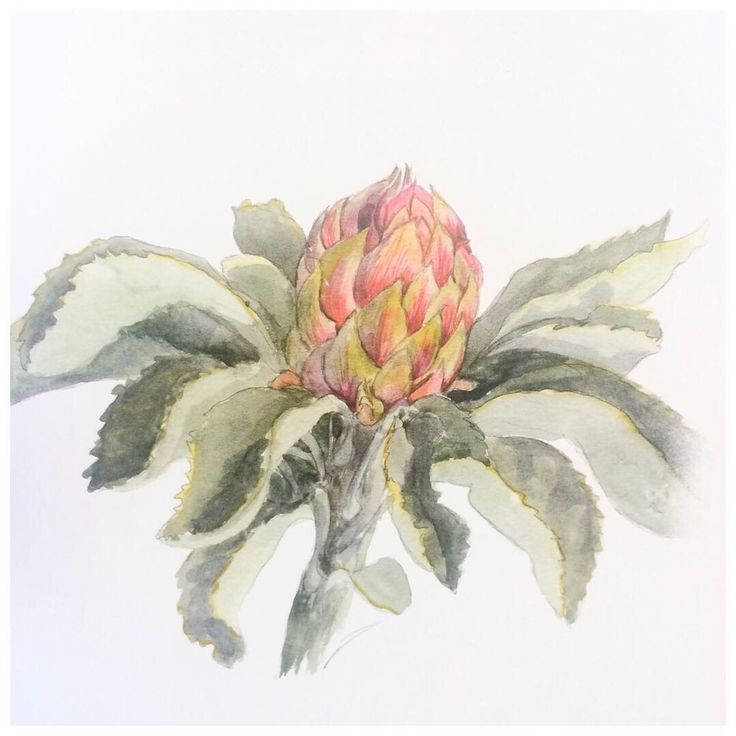 """We love sharing information about edible plants. If you've missed it here is what has been going on over at our Instagram account. Stop by next time your on: @forageandharvest  ---Telopea Speciosissima, the Red Waratah, or Miwa Gawain in D'harawal language of Sout hCoast NSW. """"Found in the sandy, rocky soils in forest and woodland of D'harawal lands, it's nectar was gathered by washing the flowers in spring water, and given to young babies who were doing poorly. The nectar left over .."""