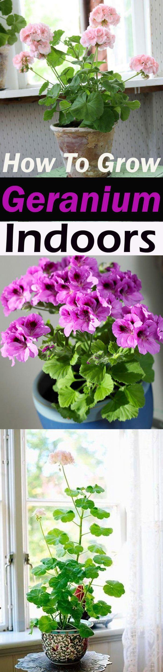 How to Grow Geranium Indoors Year Round