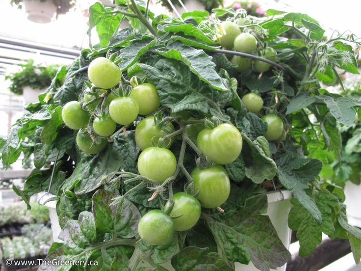 The Convenience Of A Vegetable Garden Right On Your Patio! We Have Found  That Tomatoes Grow Exceptionally Well In A Hanging Basket.