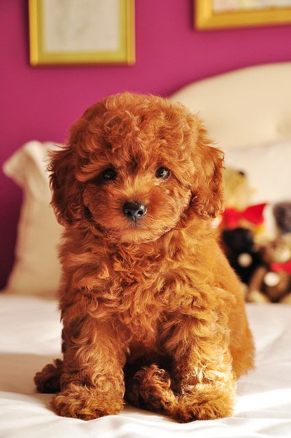 Goldendoodle - Golden Retriever x Poodle. My best friend has this dog,