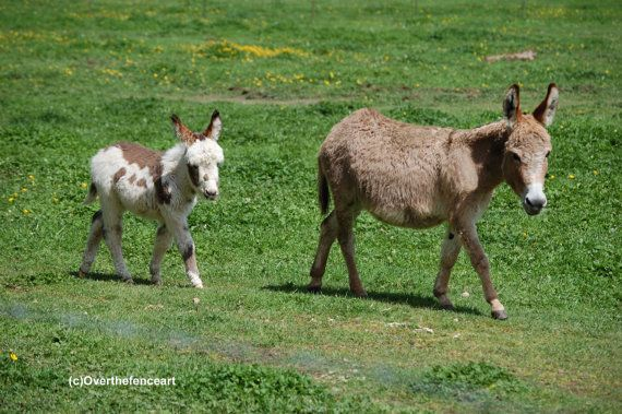 Animal Photography Miniature Donkey Photograph 5 x 7 Print  Mother and Baby Enjoying a Walk in the Sun by overthefenceart