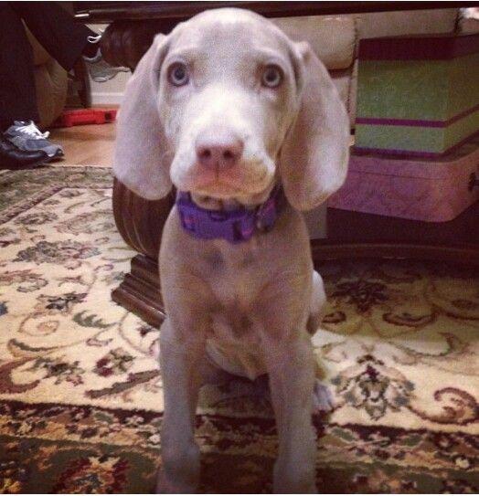 My weimaraner puppy!: Doggie