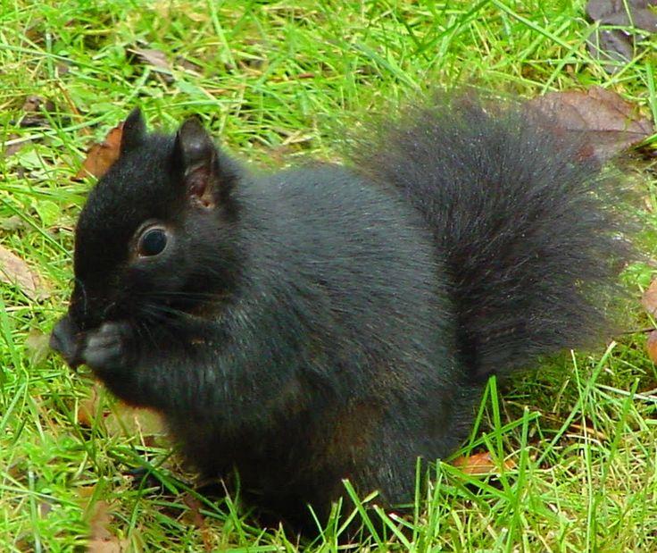 black squirrel~we have seen them in Port Huron, Michigan