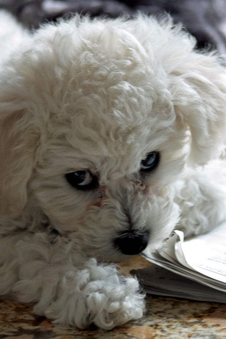 What Puppy Food Does Bichon Frise Eat Puppy Breeds Cute Puppy