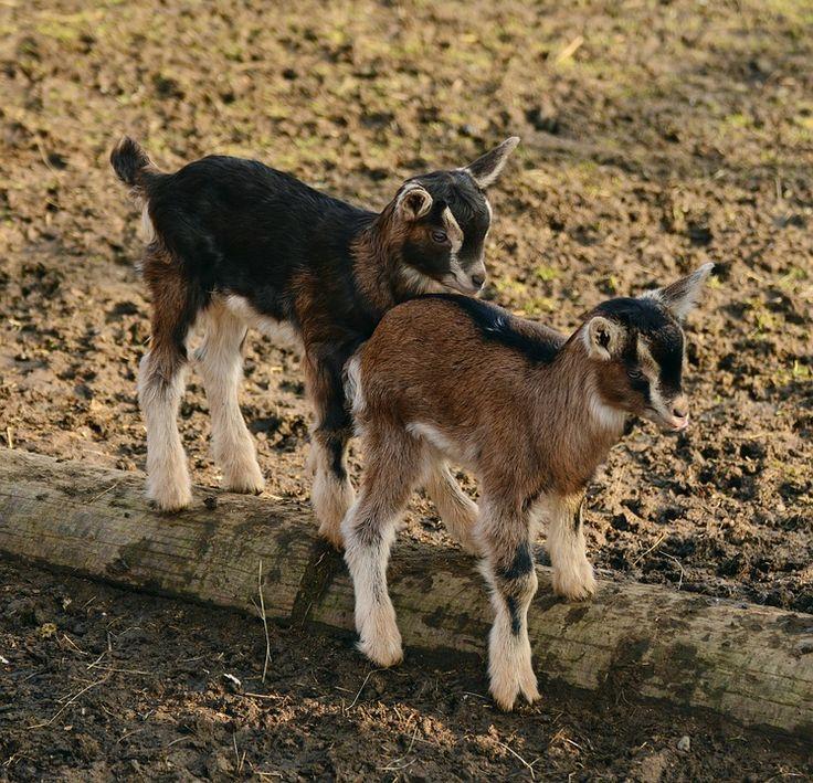 Keçiler, Çocuk, Genç Keçi, Yerli Keçi, Kuzu, Küçük Keçi