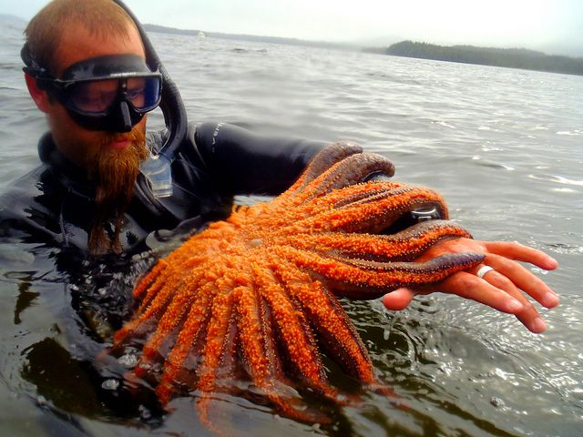 Sunflower Starfish by BaubCat (world's largest starfish species-Ketchikan, Alaska), via Flickr